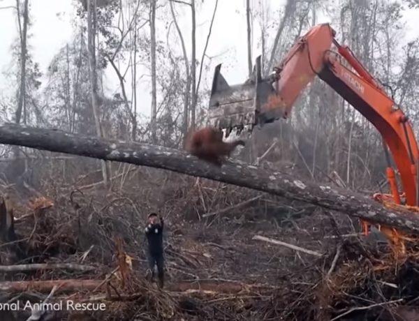 bosques, orangutan , trapa, palma, rescate, programapublicidad, muy grande